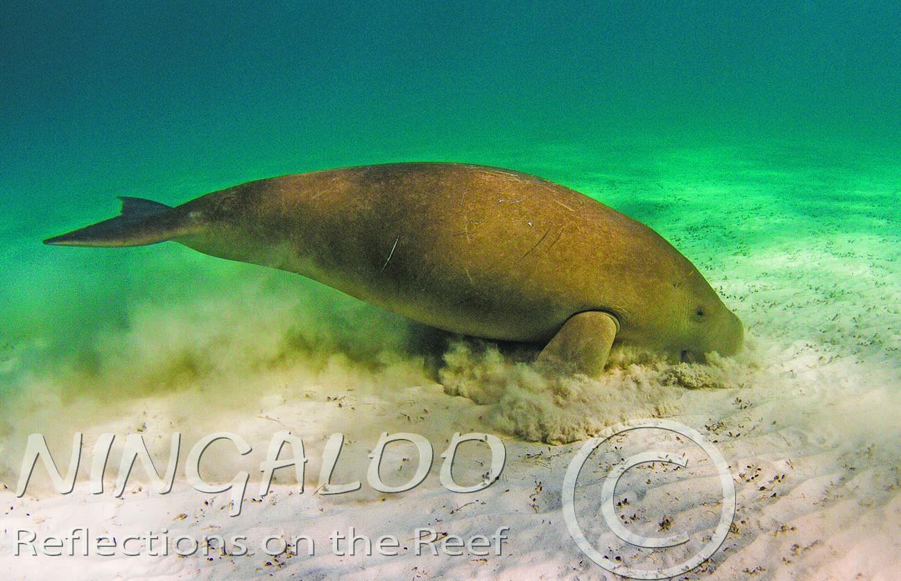 Feeding Dugong