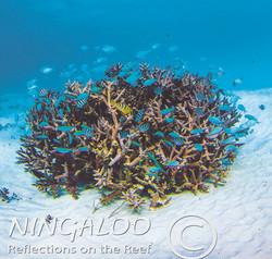 Coral at Ningaloo Reef