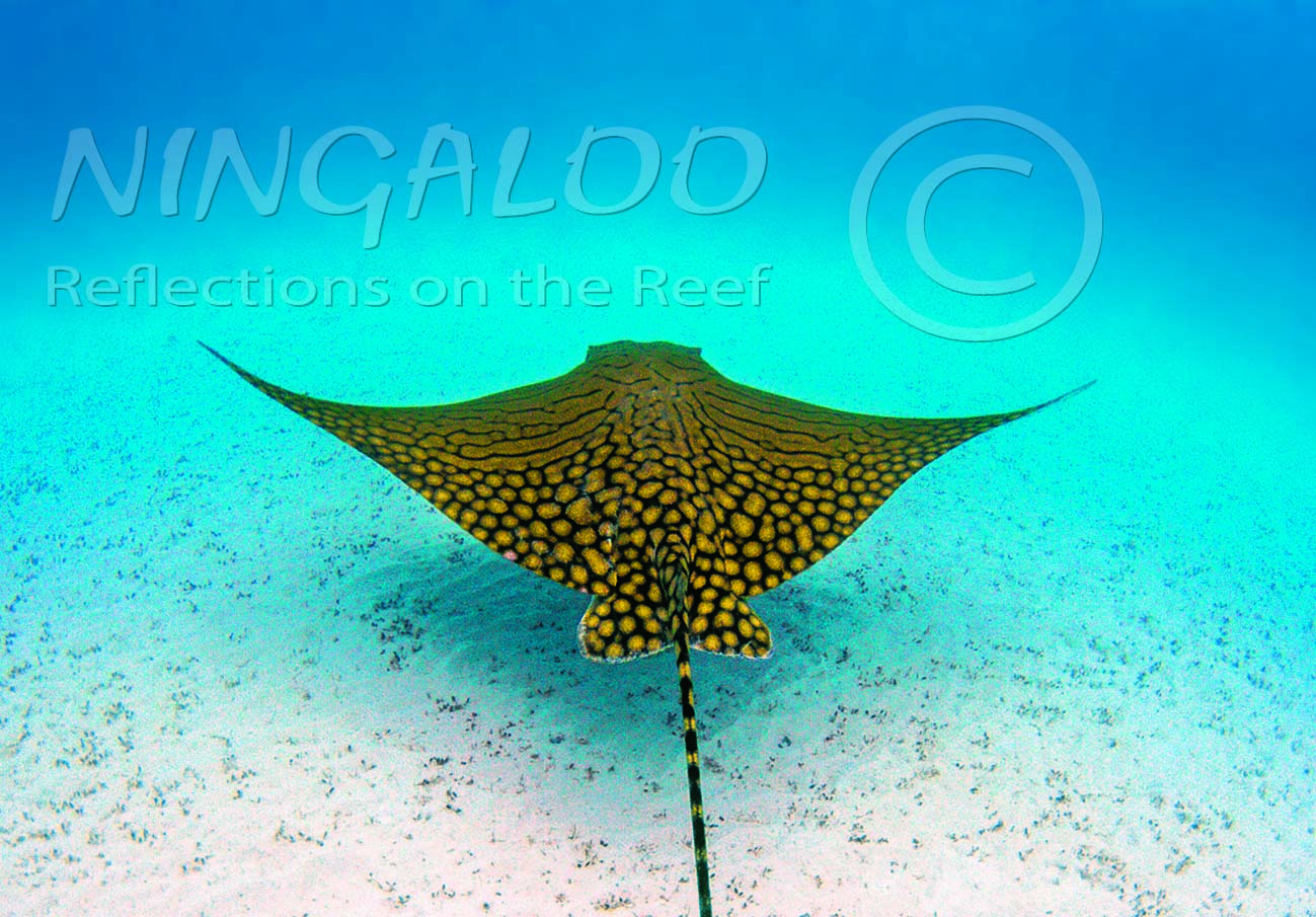 The Ornate Eagle Ray