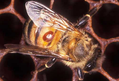 """VARROA MITES – It's not """"if"""" you get them, it's """"WHEN"""" you get them……………………."""