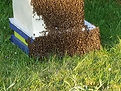 Mid summer bearding of bees to cool down