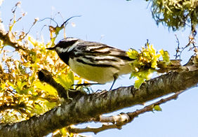 Black-throated Gray Warbler.jpg