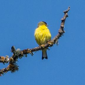 b09Lesser Goldfinch (Spinus psaltria) (2