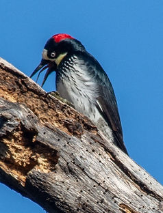 22Female%20Acorn%20Woodpecker%20(Melaner