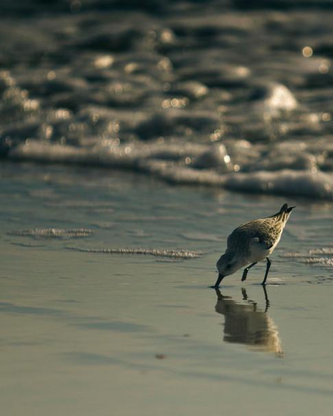 Sandpiper - Gray Artus