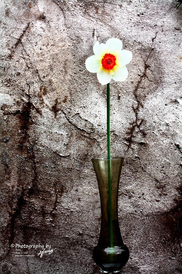 Daffodil - Gray Artus