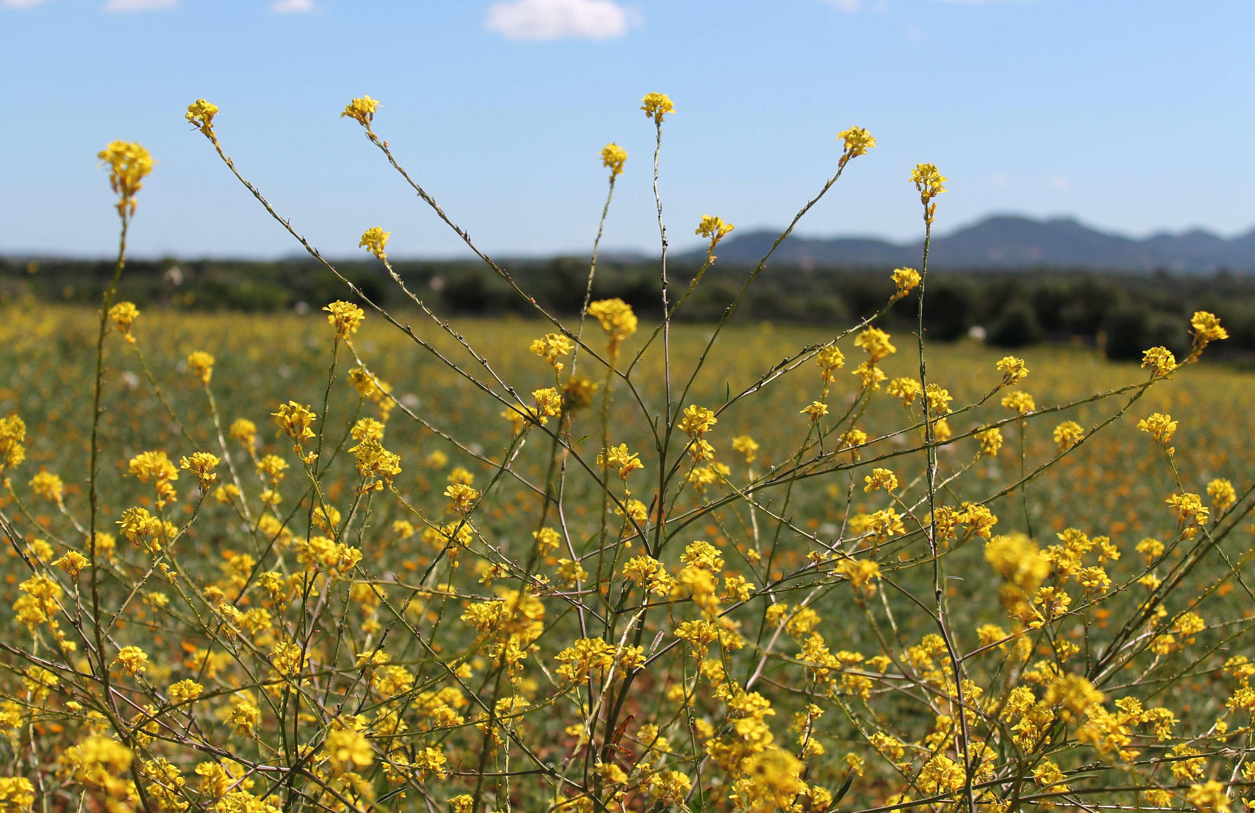 Flores del campo