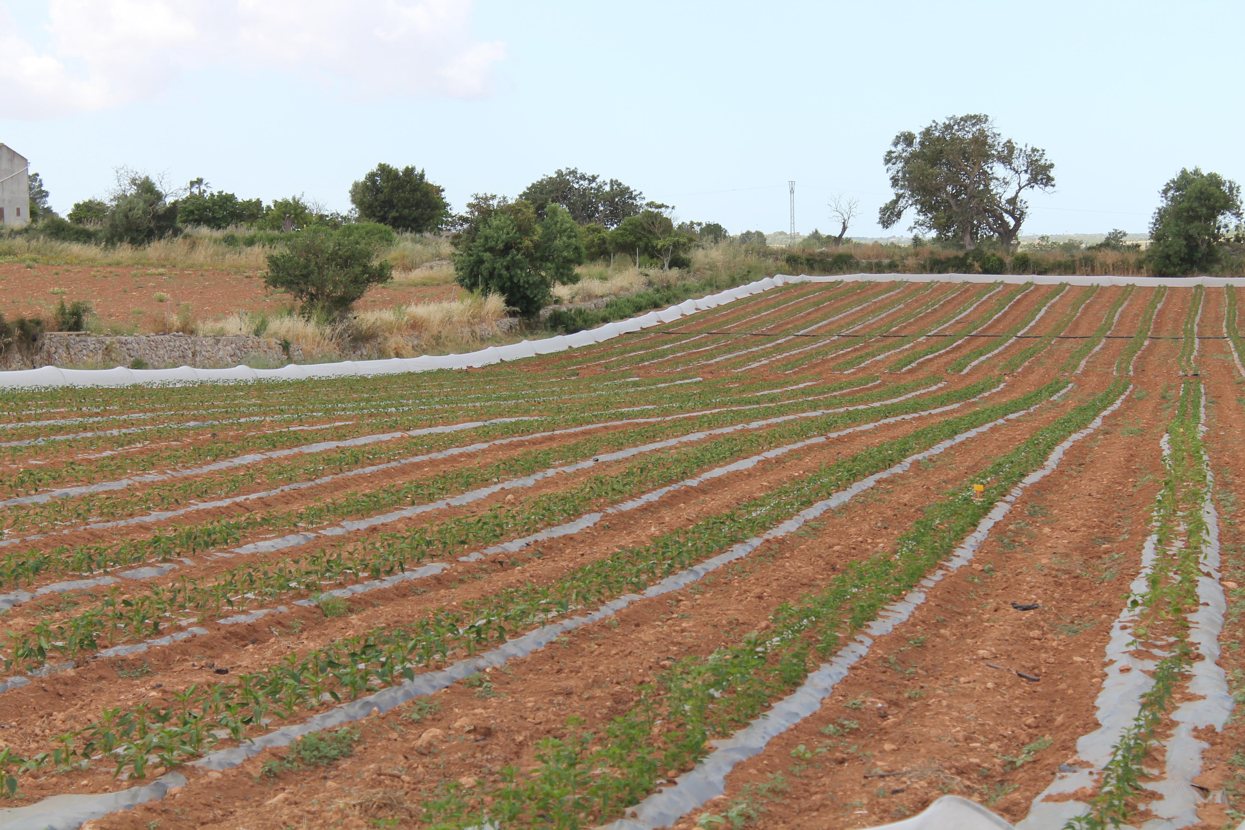 Campos plantados