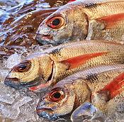 Peixateria peix fresc i marisc Palafrugell peixos marc