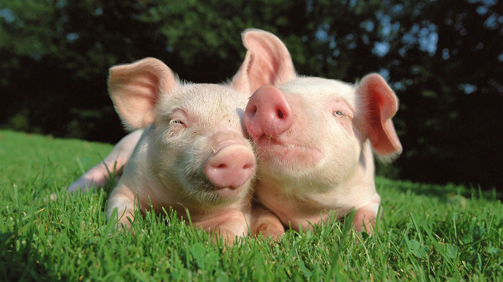 cute-pigs-pictures.jpg