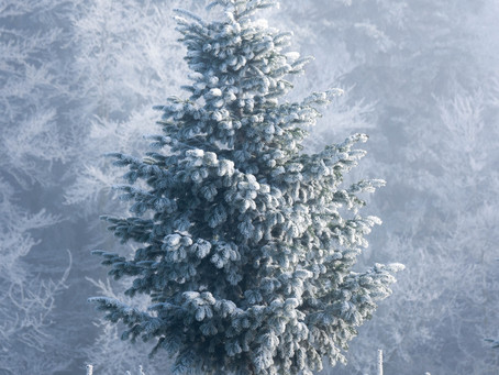 Small Pine - November 29, 2020 - 1. Advent