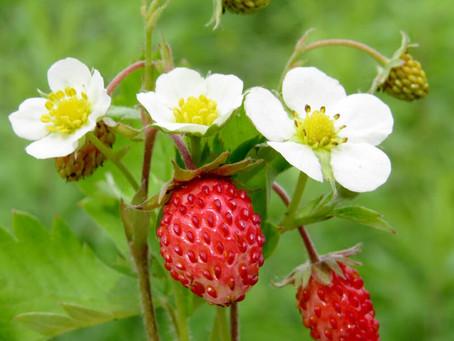 Strawberries - June 27, 2021