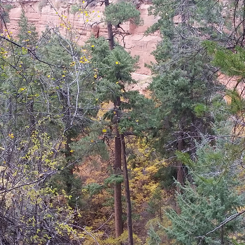 Candidate for oldest and tallest tree on the Navajo Nation.