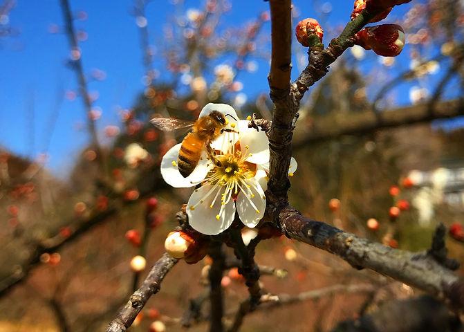 花とミツバチ.JPG