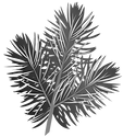 pine-branch-png-6.png