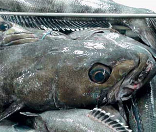 Toothfish fishery - New Zealand - labour issues onboard