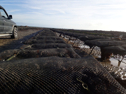 Oyster: Responsible management of the farm and high quality of the product