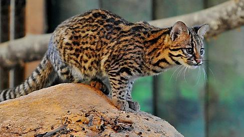 gato-do-mato-1280x720.jpg