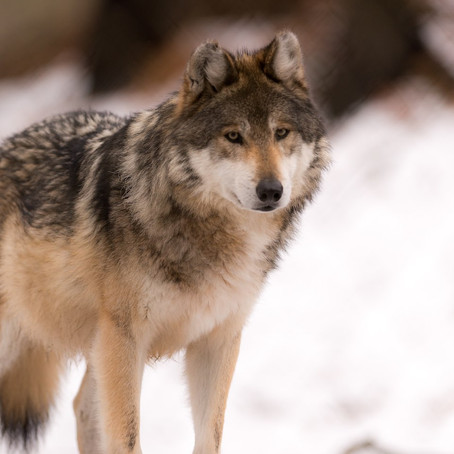 Почему всё, что вы знаете о волчьих стаях, неправда.