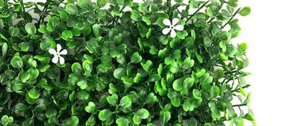 Boxwood White Flowers