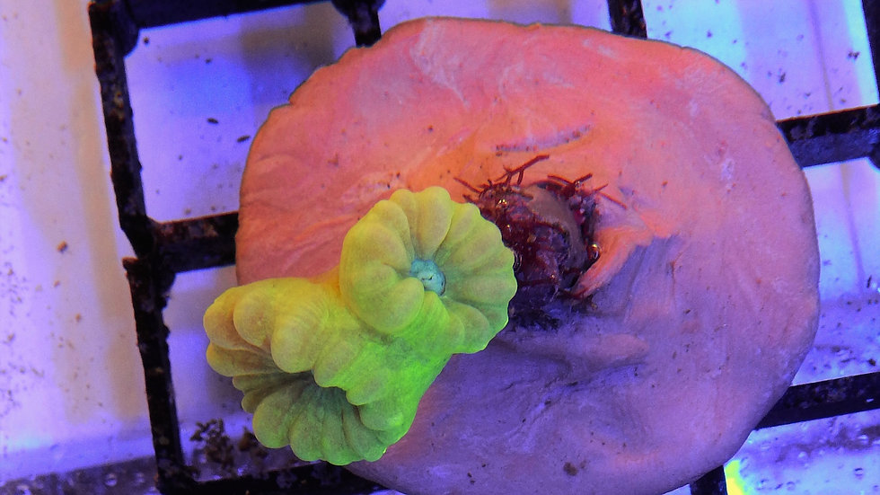 Caulastrea lemon/Green