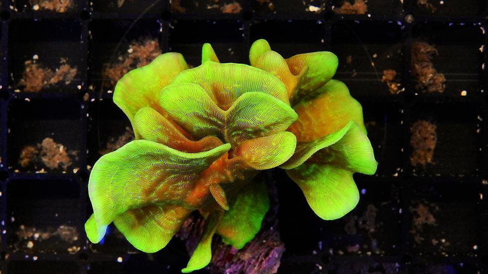 pavona cactus orange/green