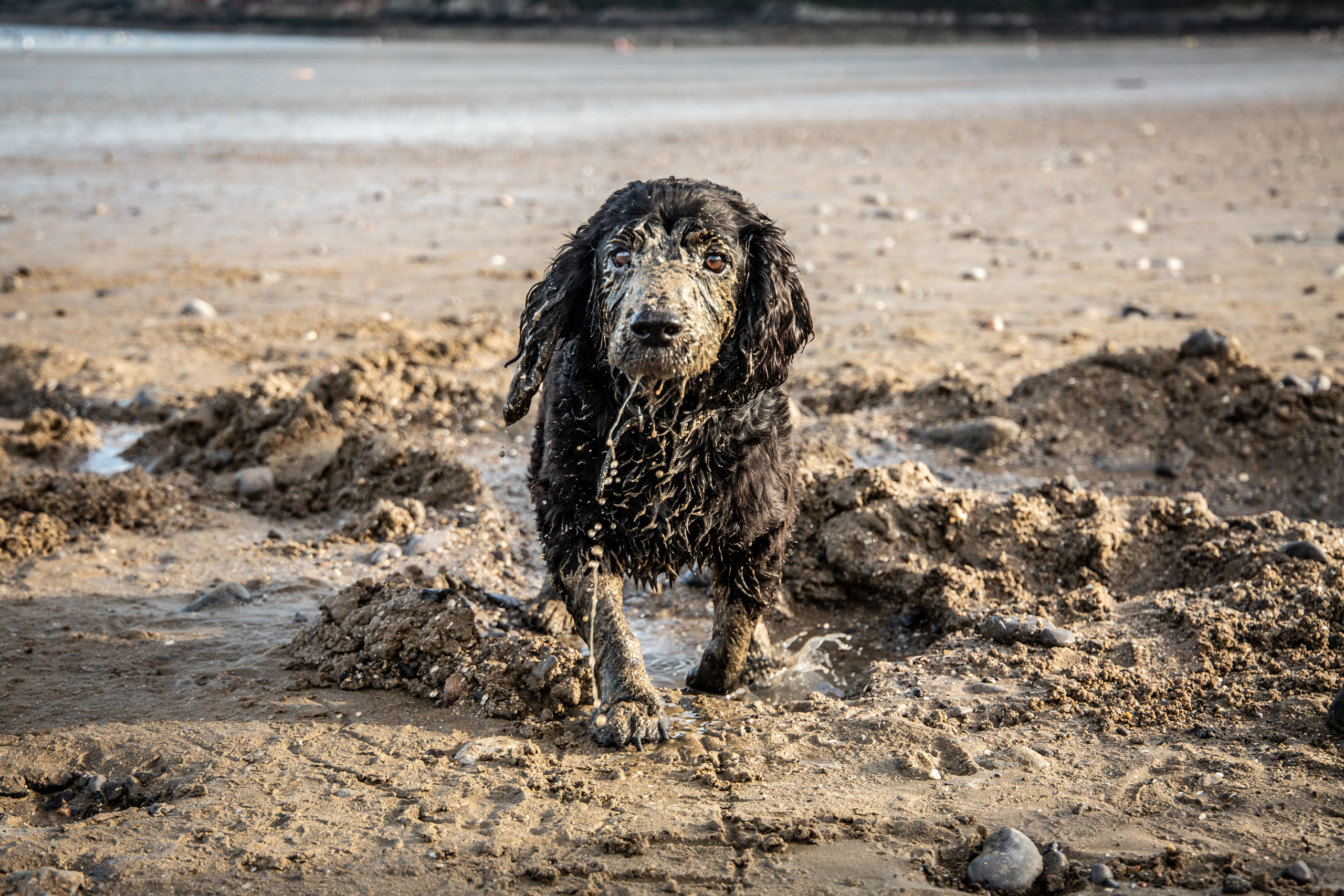 family dog running through the sand and water at Oxwich Bay