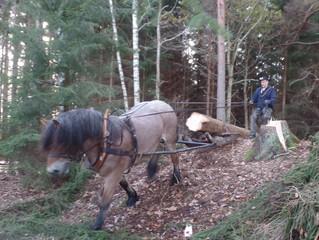 Das Stammholz wird von den kräftigen Ardennerpferden von Eriksgården Vimmerby aus unserem Wald gerüc