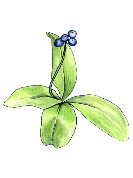 Bluebead lily