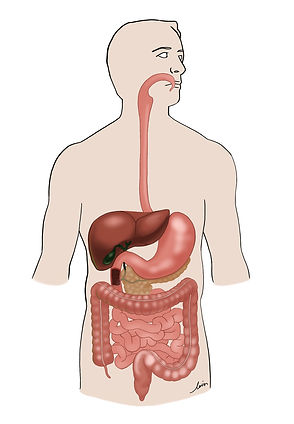 The gastrointestinal tract (gut) and liver