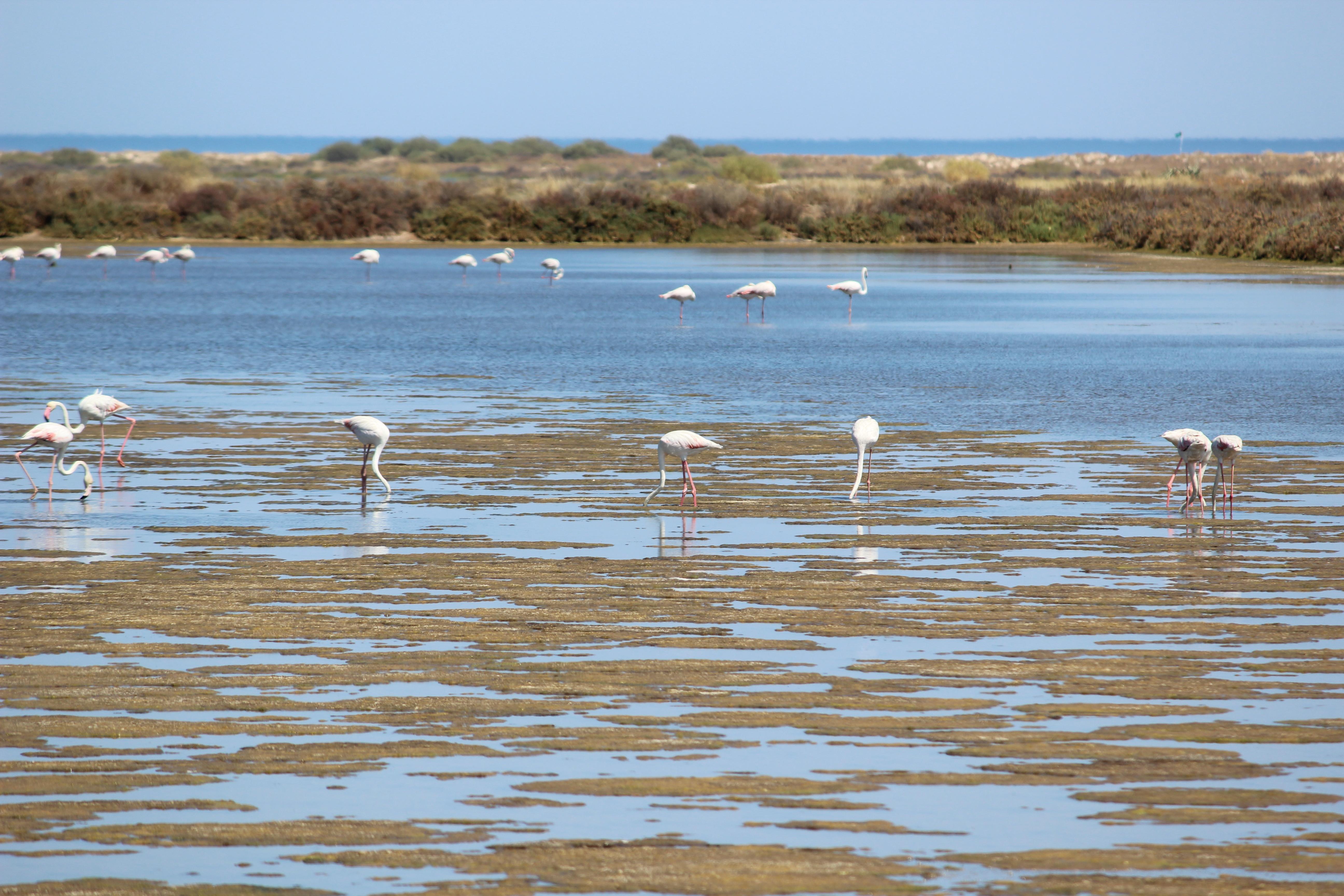 Flamingos -Ria Formosa- Tavira