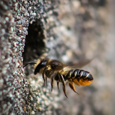 'Leafcutter bee' by Jacqueline Agnew, Ards Camera Club
