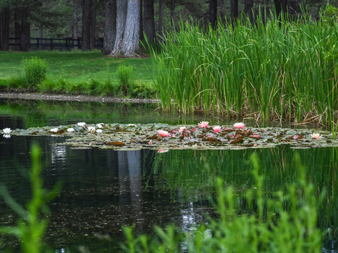 Lily pads looking for sunlight