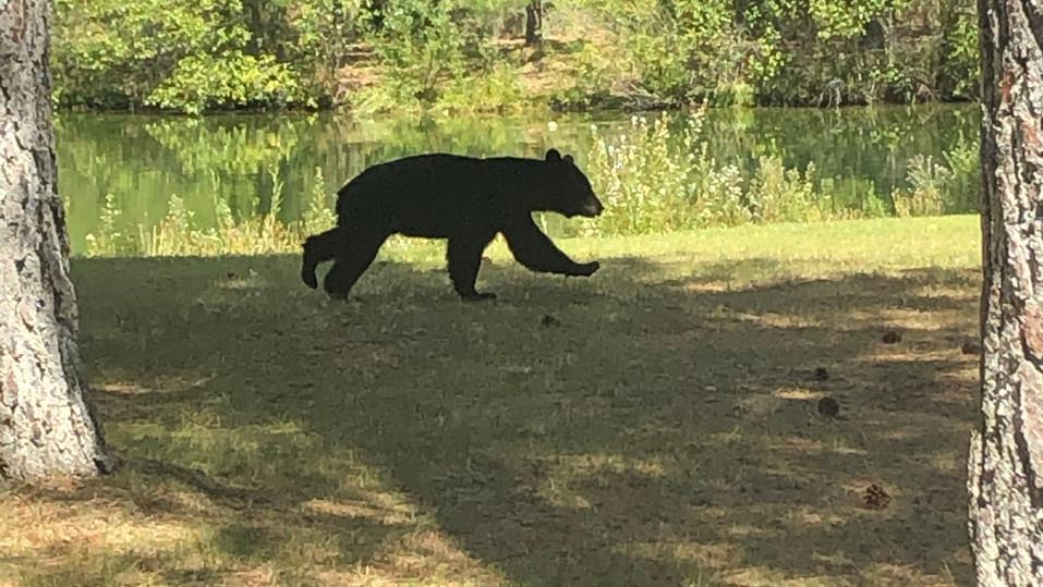 Bear visiting the lake
