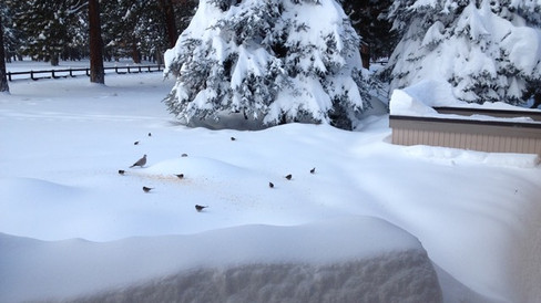 Mourning dove and sparrows in the snow