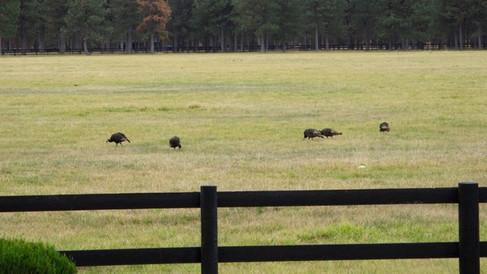 Turkeys in the pasture