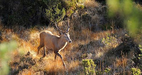 Hjort på vandring.jpg