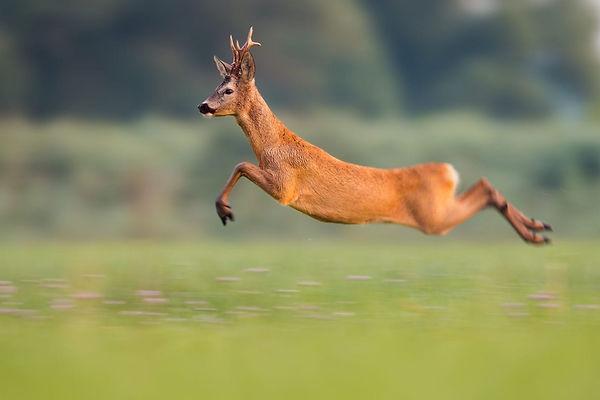Roe-deer i sprang.jpeg