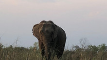 Life off the Leash- Tourism elephants at Tiger Tops