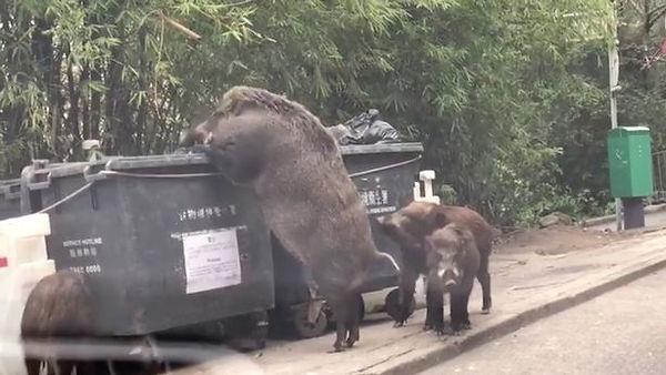 """Pigzilla"" eats from a bin"