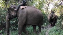 Studying the relationship between captive elephants and their handlers