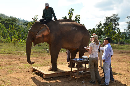 Weighing an Asian elephant on a platform