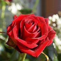 66613-A-Single-Red-Rose.jpg