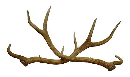 Shed Elk Antlers