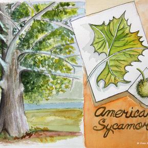 American Sycamore