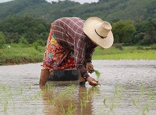 rice farming_edited.jpg