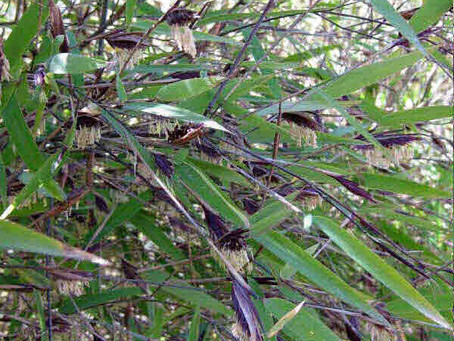 Gregarious Bamboo and what it means to you!