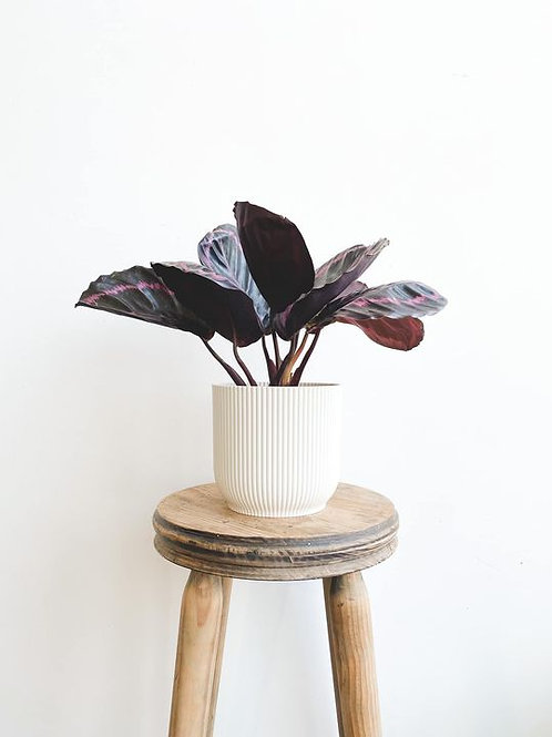 Perfectly Imperfect, Calathea Surprise Star - Small