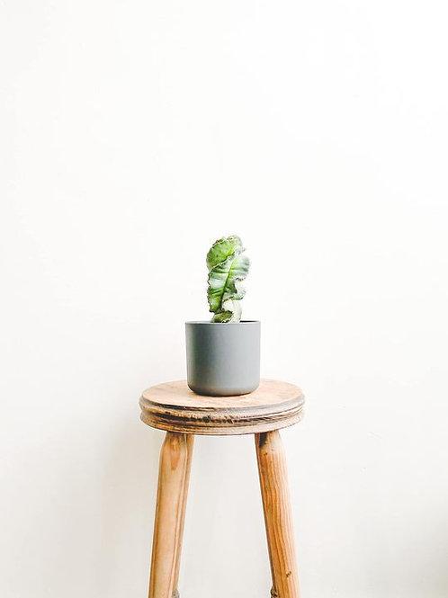 Sebastian, Cereus Forbesi Spiralis Cactus - Small