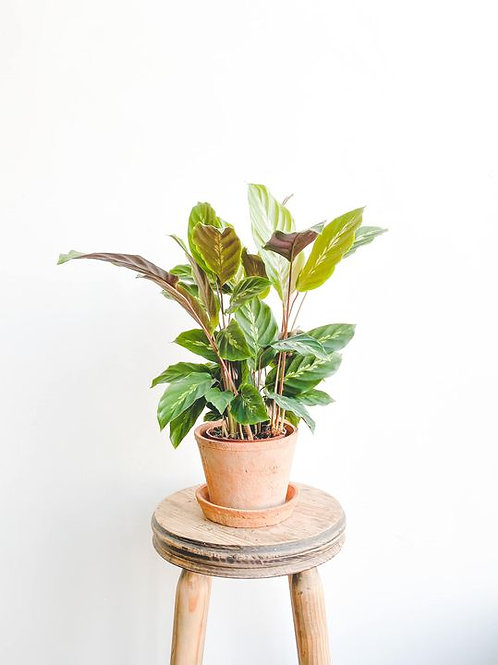 Meg, Calathea Maui Queen - Small